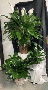 plants clayton nc